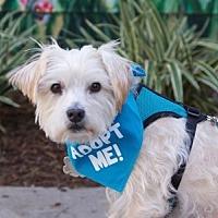 Norfolk Terrier/Silky Terrier Mix Dog for adoption in Pacific Grove, California - Jerry