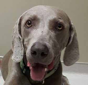 Weimaraner Dog for adoption in Birmingham, Alabama - Bing