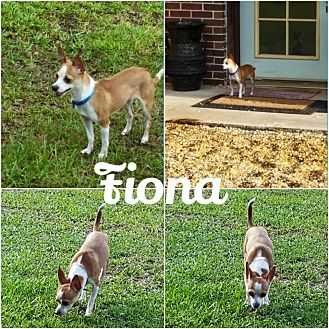 Chihuahua Dog for adoption in Fort Valley, Georgia - Fiona