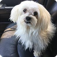 Adopt A Pet :: Billy - Van Nuys, CA