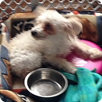 Toy Poodle Puppy for adoption in Butler, Ohio - Angel