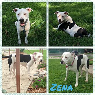 American Pit Bull Terrier Mix Dog for adoption in Okmulgee, Oklahoma - Zena