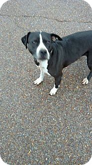 Great Dane/Pit Bull Terrier Mix Dog for adoption in Bartlett, Tennessee - Momma