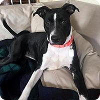 Adopt A Pet :: Marley - Arlington, VA