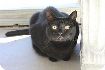 Domestic Shorthair Cat for adoption in Brunswick, Georgia - Latte