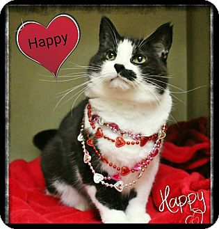 Domestic Shorthair Cat for adoption in Shippenville, Pennsylvania - Happy