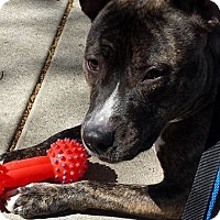 Adopt A Pet :: Rizzo - Schaumburg, IL