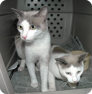 Domestic Shorthair Cat for adoption in Laguna Woods, California - BFFs Egypt and BB
