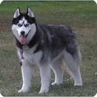 Adopt A Pet :: Chunkers - Belleville, MI