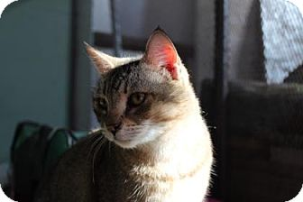 Domestic Shorthair Cat for adoption in Tucson, Arizona - Chica