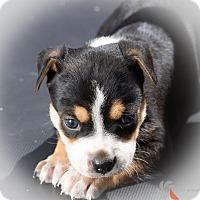 Adopt A Pet :: Olson - Phoenix, AZ