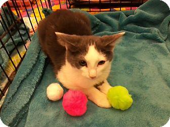 Domestic Shorthair Kitten for adoption in Northfield, Ohio - Woodstock