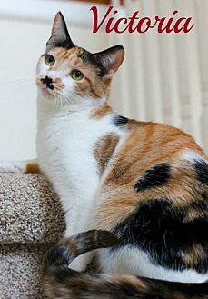 Domestic Shorthair Cat for adoption in Knoxville, Tennessee - Victoria  Female