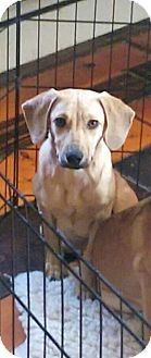 Labrador Retriever/Dachshund Mix Puppy for adoption in Newark, Delaware - Ben (Adoption Fee $80)