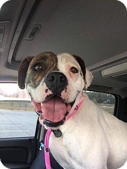 American Bulldog/Boxer Mix Dog for adoption in Jacksonville, Alabama - Bella