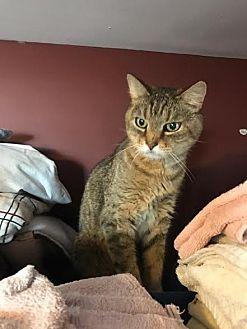 Domestic Shorthair Cat for adoption in Acushnet, Massachusetts - Pickles