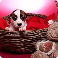 Adopt A Pet :: Izzy Lemoncake - Jackson, TN