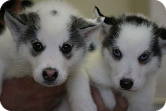 Alaskan Malamute Mix Puppy for adoption in Canoga Park, California - Mishka's Puppies!