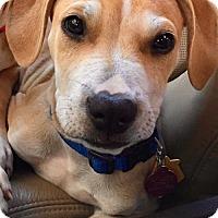 Adopt A Pet :: Kevin ~* Coconut Retriever *~ - Fort Lauderdale, FL