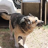 German Shepherd Dog Mix Dog for adoption in Bisbee, Arizona - Hank