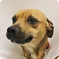 Adopt A Pet :: BROWN - Las Vegas, NV