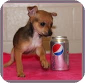 Chihuahua Mix Puppy for adoption in Hagerstown, Maryland - Diamond