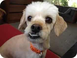 Poodle (Miniature) Mix Dog for adoption in Tustin, California - Rose