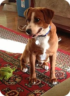 Beagle Mix Dog for adoption in Windham, New Hampshire - Beethoven (REDUCED)