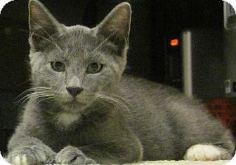 Hemingway/Polydactyl Kitten for adoption in Seminole, Florida - Axel