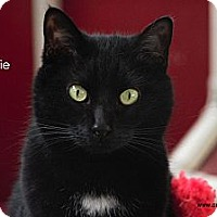 Domestic Shorthair Cat for adoption in St Louis, Missouri - Bootsie