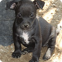 Adopt A Pet :: Eve - La Habra Heights, CA