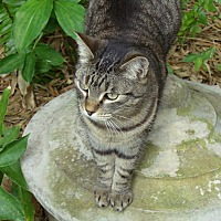 Domestic Shorthair Cat for adoption in Naples, Florida - Anjie