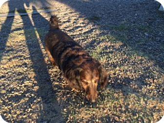 Dachshund Dog for adoption in Elk Grove, California - MAGOO