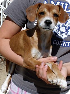 Beagle/Hound (Unknown Type) Mix Puppy for adoption in Corona, California - JOLENE