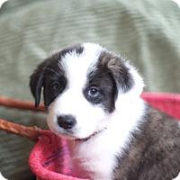 Adopt A Pet :: Acranum - Evergreen, CO