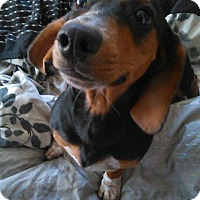 Dachshund/Beagle Mix Puppy for adoption in Glen St Mary, Florida - Brownie