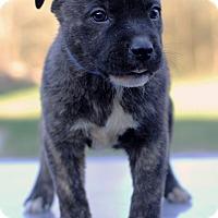 Adopt A Pet :: Green Bean - Waldorf, MD