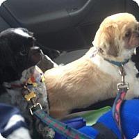 Adopt A Pet :: Teddy & Cadin in RI Bonded pair CP - Providence, RI