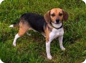 Beagle Dog for adoption in Fairfax, Virginia - Lou Ann