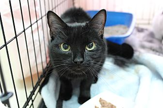 Domestic Shorthair Cat for adoption in Warwick, Rhode Island - Cookie