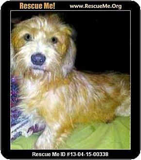 Dachshund/Poodle (Miniature) Mix Dog for adoption in Boulder, Colorado - Alex