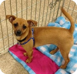 Chihuahua Mix Puppy for adoption in Mesa, Arizona - Kit