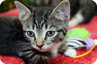 American Shorthair Kitten for adoption in Clinton, Louisiana - Pepper