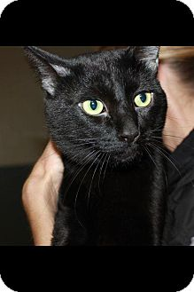 Domestic Shorthair Cat for adoption in Chicago, Illinois - Cole