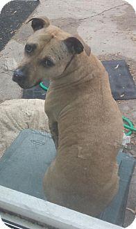 Pit Bull Terrier Dog for adoption in Lakeville, Minnesota - Cinnamon