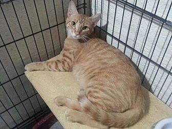 Domestic Shorthair Cat for adoption in Scottsdale, Arizona - Sunny
