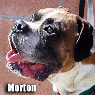 Boxer Dog for adoption in Encino, California - Morton
