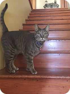 Domestic Shorthair Cat for adoption in Houston, Texas - Jersey