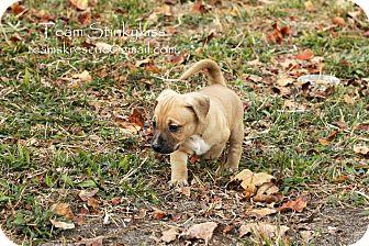 Dachshund/Basset Hound Mix Puppy for adoption in Aiken, South Carolina - Holland