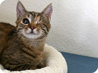 Domestic Shorthair Kitten for adoption in Republic, Washington - Angelou VALENTINE'S SPECIAL! 5